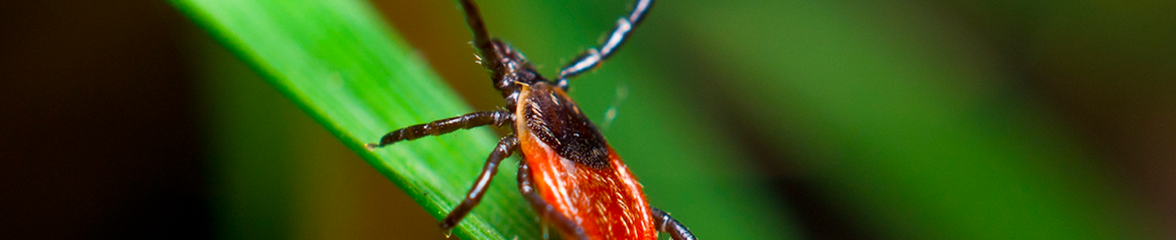 Ticks Common in VA – Blacklegged (Deer) Tick
