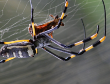 black and yellow spider crawling